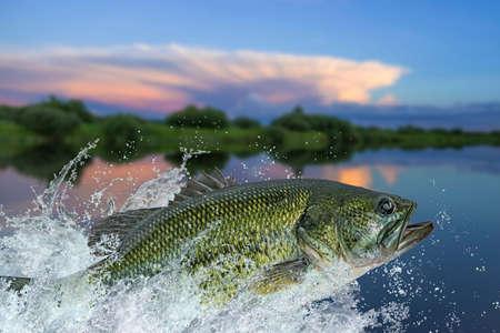 Bass fishing. Largemouth perch fish jumping with splashing in water Stock fotó