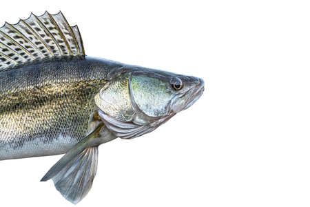 Zander. Head of live walleye fish isolated on white background. Sander pikeperch fishing