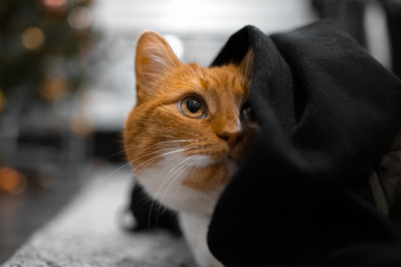 Close-up portrait of red cat hiding under black blanket