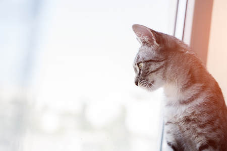 Portrait of American shorthair cat looks out the window.