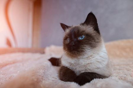 Portrait of siamese home cat with blue eyes