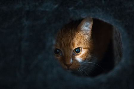 Portrait of cute red white cat hiding of black box.