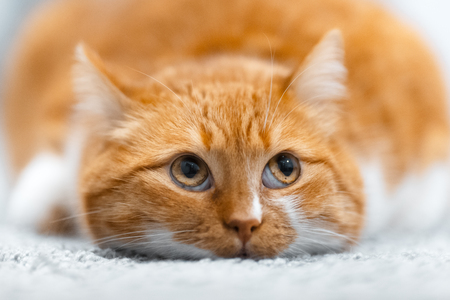 Close-up portrait of cute red white cat lying on the floor Banco de Imagens