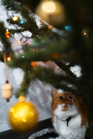 Portrait of cute red white cat near christmas tree.