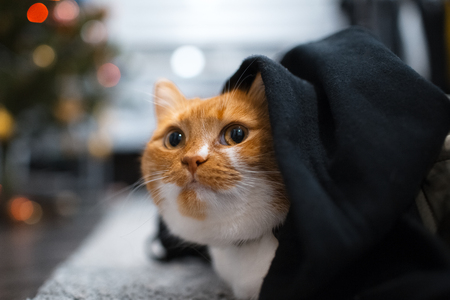 Red white cat hiding under black blanket