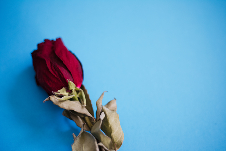 Closeup of dried red rose on the blue background. 写真素材