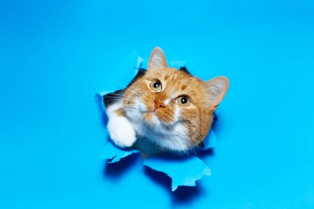 Close-up portrait of red white cat through blue torn paper hole. Imagens