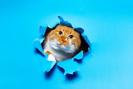 Close-up portrait of red white cat through blue torn paper hole.
