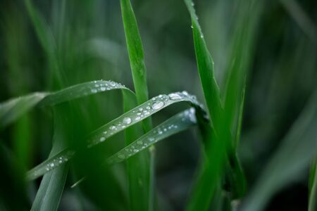 Close-up of green wet leaves of flowers  with water drops upon them. Morning dew, natural nature concept.