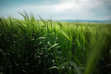 Beautiful natural landscape of green wheat field in rainy day. Imagens