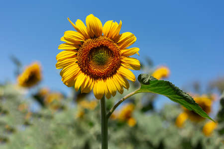 Natural background, close-up of blossom sunflower in sunny day on background of blue sky. 版權商用圖片