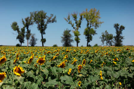 Natural background of sunflowers field on background of blue sky and trees. 版權商用圖片