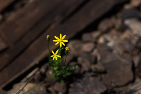 Top view, close-up of yellow flower on background of wooden boards and stones.