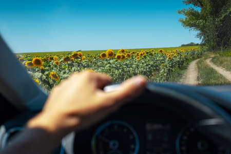 Close-up of driver hand holding car wheel, view of sunflowers field through window. 版權商用圖片