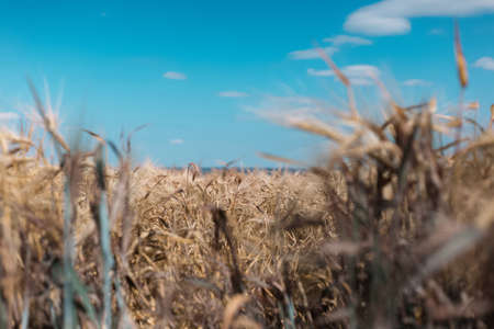 Close-up of golden wheat on background of blurred blue sky and field.