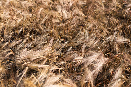 Natural abstract textured background of dry golden wheat field. 版權商用圖片