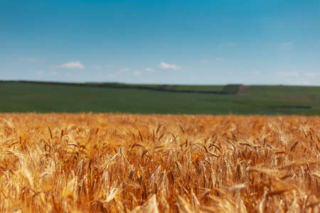 Natural landscape background of golden wheat field on background of green meadow and blue sky.