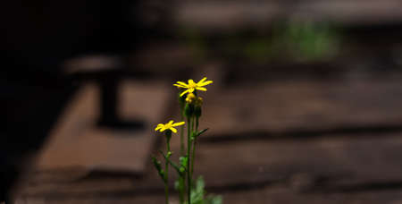 Close-up of small yellow flower on blurred outdoors background. Panoramic banner view.