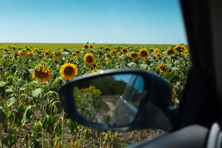 View of sunflowers field in sunny day inside car.
