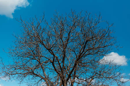 Natural landscape of dry tree on background of blue sky.
