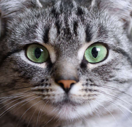 Close-up portrait of beautiful American shorthair cat with green eyes.