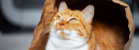 Panoramic banner portrait of red-white cat looking away, lying on the floor in eco paper bag. Close-up view. Stok Fotoğraf