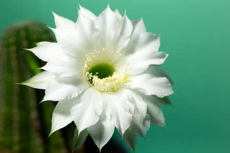 Close-up of beautiful blooming white flower of cactus on green background.