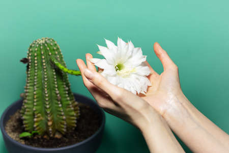 Close-up of female hands holding white blooming white flower of green cactus plant on green background.