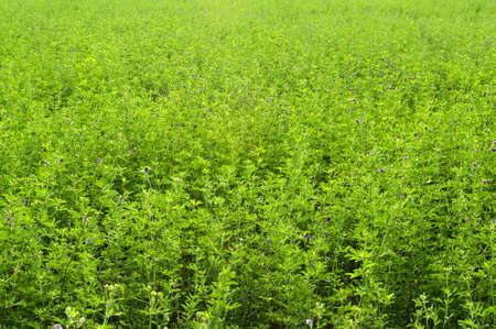 rancheros: Primer plano de un campo de alfalfa, que se utiliza como forraje por los ganaderos Foto de archivo