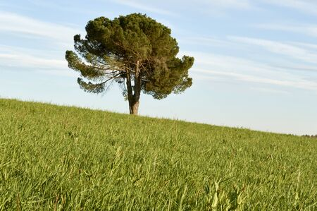 lone pine: Lone pine in the green spring meadow on background of sky Stock Photo