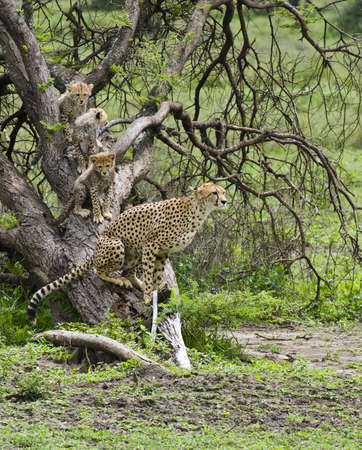 Cheetah and Family