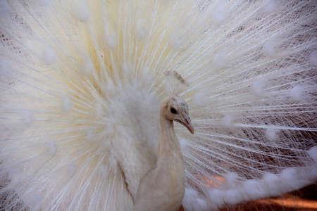 peacock wheel: Albino Peacock