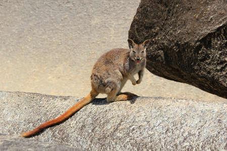 wallaby: smiling wallaby