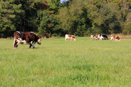 grazing cows: Grazing cows Stock Photo