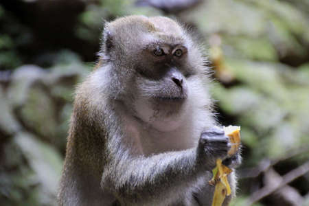 manlike: monkey eating a banana