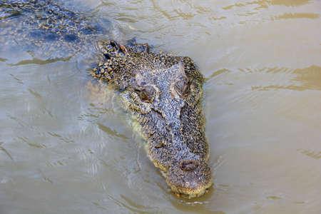 alligator eyes: swimming crocodile