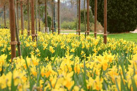 daffodil: Daffodil garden