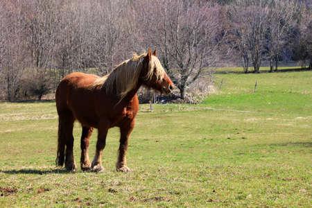 heavy: brown heavy horse