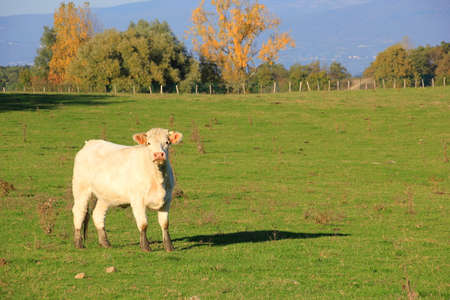 muddy: Curious white cow with muddy feet