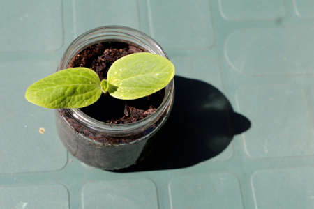 Young zucchini plant in a glass