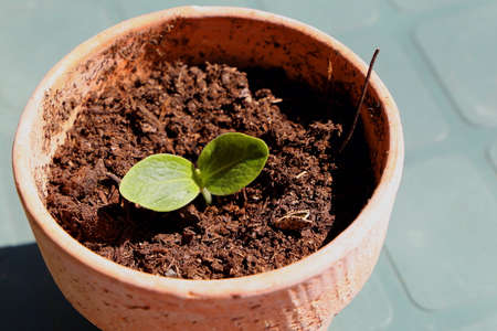 Young zucchini plant in a pot