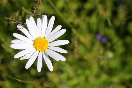 Marguerite flower surrounded by the nature Zdjęcie Seryjne