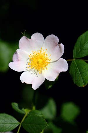 Blossom of a roship flower