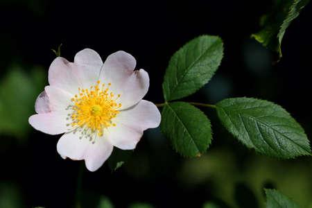 Blossom of a rosehip flower