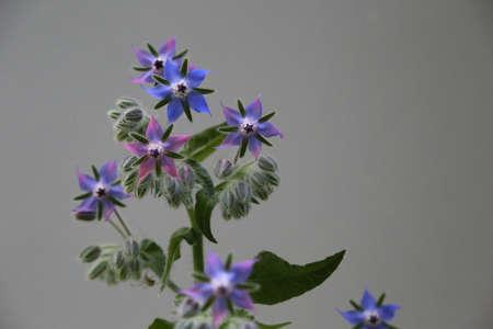 Blue edible borage flowers Zdjęcie Seryjne