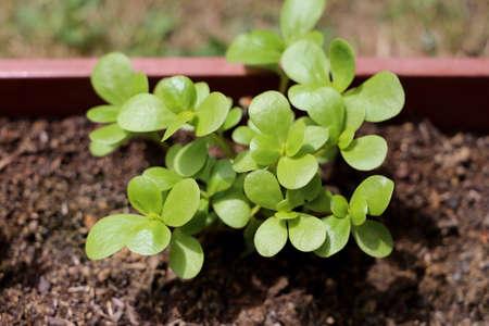 Green portulaca growing in the garden Zdjęcie Seryjne