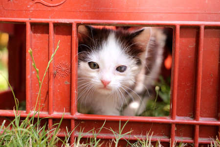 Cute black and white kitten is looking through a window of a box Zdjęcie Seryjne