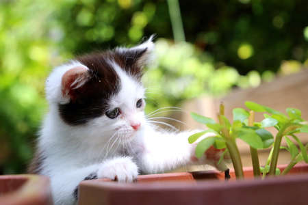 Cute black and white kitten is playing with a green garden plant