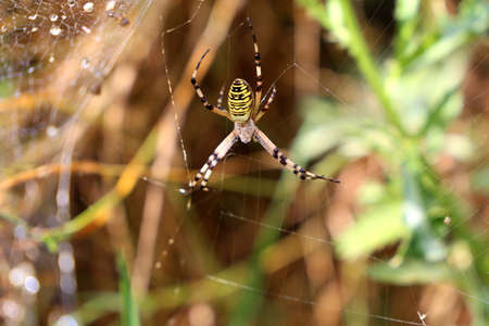 Yellow and black striped wasp spider in the garden