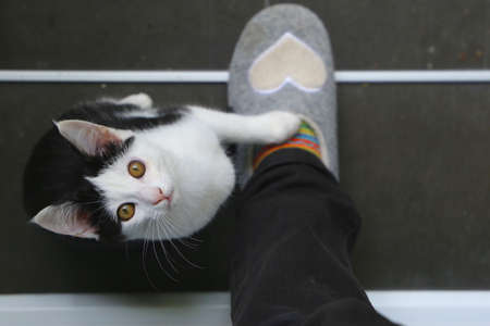 Cute black and white kitten is looking up and has a paw on my foot